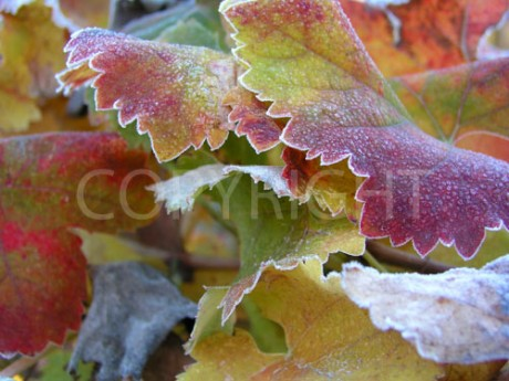 4 Frosted Leafs