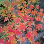 Acer Leafs 3