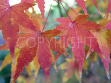 Acer Leafs 4