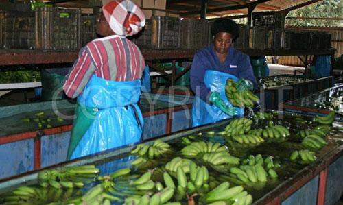 banana washing troughs
