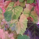 Pale leafs