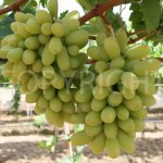 Arra Grapes 15
