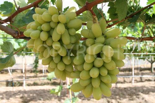 Arra Grapes 15