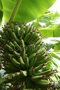 Banana bunch and light