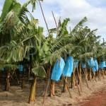 Banana with straw mulch