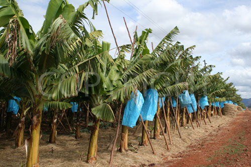 Banana with straw mulch