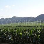 Bananas in plantations