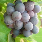 Barlinka Grapes