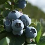 Blue crisp 3