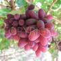 Crimson Grapes 11