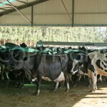 Dairy herd before milking