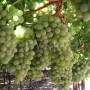 Dauphine Grapes row