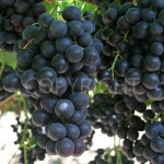 Desert Grapes