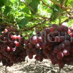 Evans seedless  grapes 3