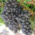 La Rochelle grapes 2