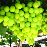 Prime Seedless grapes 2