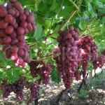 Ralli grapes row