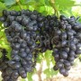 Sable grapes 1