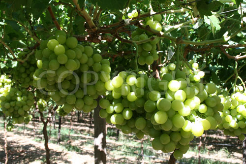 Sugra 31 grapes B