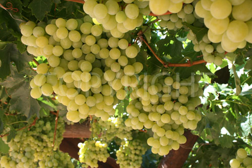 Sundance grapes yellow
