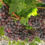 Sunred grapes 2
