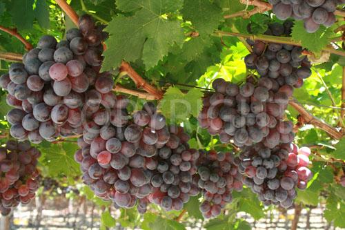 Sunred grapes 2