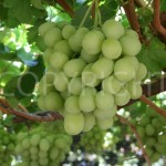 Sweet Globe grapes 2