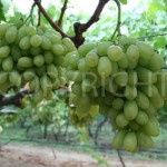 Sweet Sunshine grapes 4