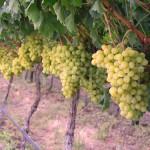 Victoria grapes row