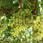 Waltham Cross grapes 1