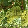 Waltham Cross grapes 1