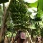 Banana Bunch close