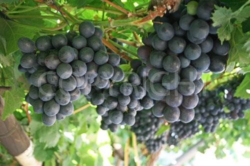 Bonheur grapes close