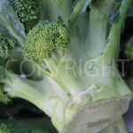 Broccoli 12