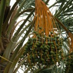 dates on tree
