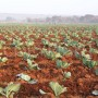 Field of young cabbages