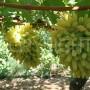 Grapecicles grapes