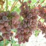 Magenta grapes 2