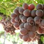 Red globe grapes soft light