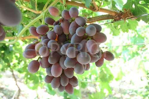 Russels pride grapes 2
