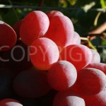 Scarlotta grapes close
