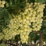 Sugraone grapes a