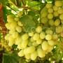 Thompson grapes 7
